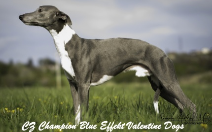 Champion_Blue Effect Valentine Dogs