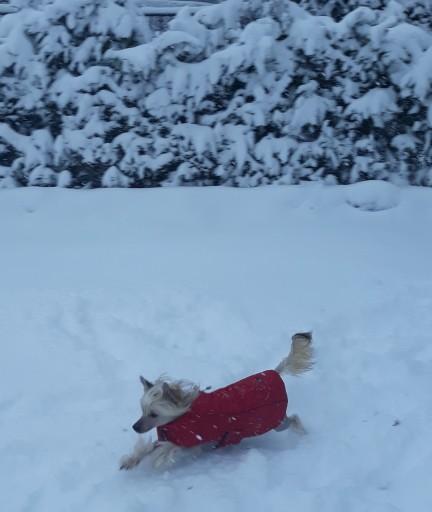 Chinese Crested vom Bergschlösschen im Schnee