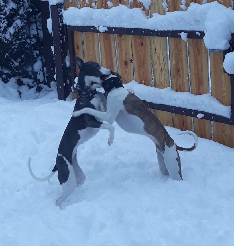 Spielespass im Schnee_Whippets vom Bergschlösschen