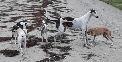 Ostsee Greyhound 2